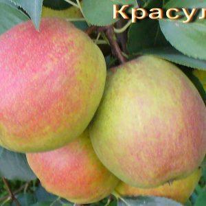 Grusha-Krasulya
