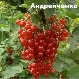 Smorodina-krasnaya-Andrejchenko