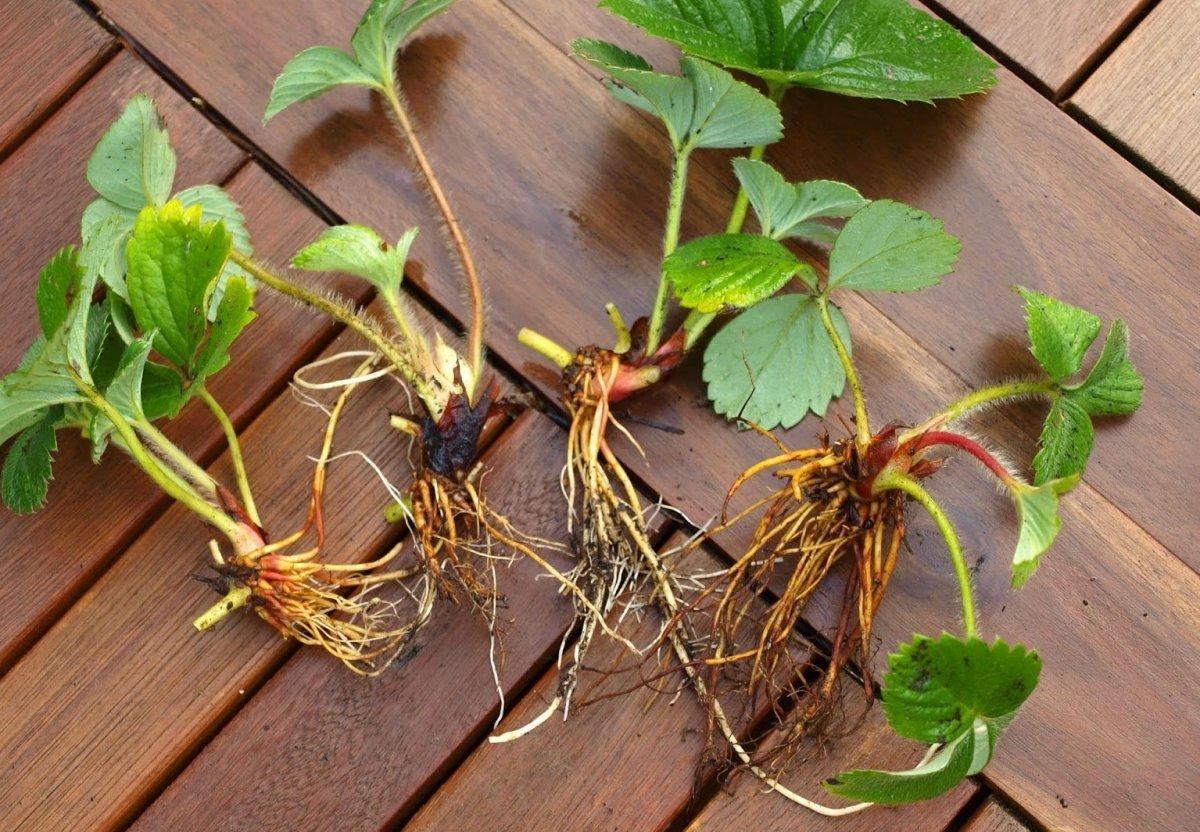 Реализация усов земляники садовой (2-ой год)